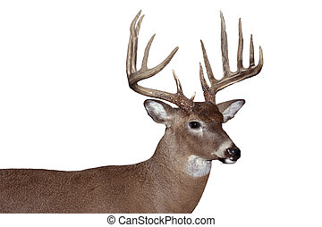whitetail buck - trophy whitetail buck isolated with...