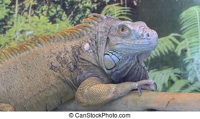 Iguana in Contact Zoo - Iguana Is located in the petting Zoo