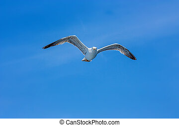 Seagull hovers in sky - Free seagull hovering in the sky....