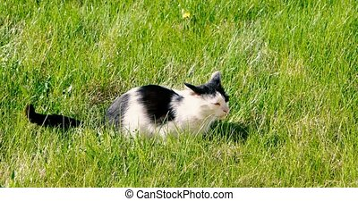 Pussy cat relaxing on the lush grass in the garden,...