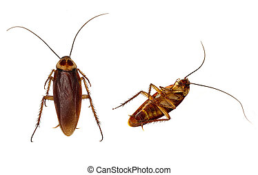 Roaches Isolated - Two Cockroaches carefully isolated by...