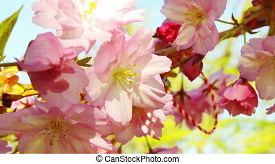 Spring blooming sakura tree flowers on sunny day - Blooming...