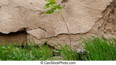 Close-up Plant or small tree and grass growing in front of aged stone wall