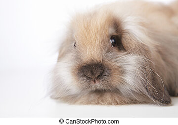 Small rabbit - Small brown rabbit on white background close...