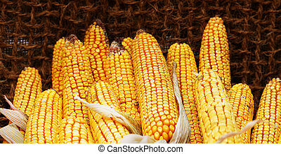 Delicious ears of corn photographed close up