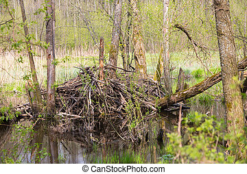 Beavers lodge in springtime,Bialowieza Forest,Poland,Europe
