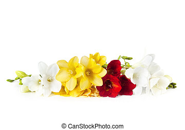 Freesias - Frangrant freesias, in red, gold and white,...
