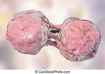 Dividing stem cells