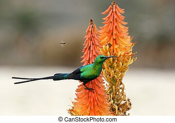 Malachite Sunbird and Bee - Malachite Sunbird and bees...
