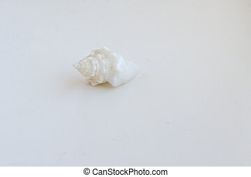 Beautiful sea shell Conus geographus on a white background -...