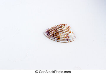 Beautiful sea shell Chione paphia on a white background -...