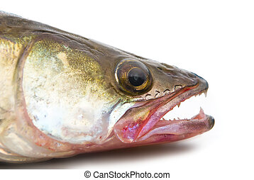 pike perch - Head of a large pike perch on a white...