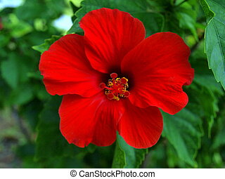 Red Hibiscus - Beautiful Tropical Flower stands out in the...