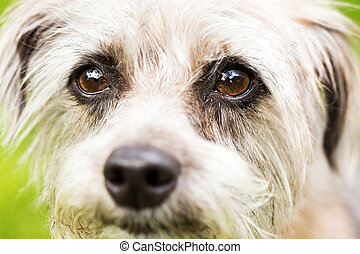 Cute Terrier Dog Face - Extreme closeup on the face of a...