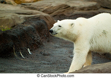 Polar bear walking on rock - A big polar bear walking around...