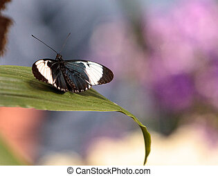 Cydno longwing butterfly, Heliconius cydno, in a botanical...