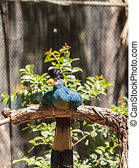 Great blue turaco bird, Corythaeola cristata, is found in...