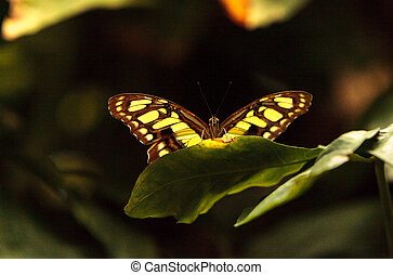 Malachite butterfly, Siproeta stelenes, in a botanical...