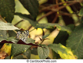 Paper kite butterfly, Idea leuconoe, in a botanical garden...
