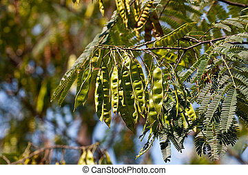 Seed Pods on Mimosa Tree - Green seed pods on a mimosa tree...