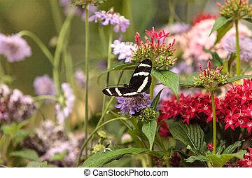 Zebra longwing butterfly, Heliconius charitonius, in a...