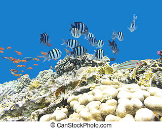 Colorful coral reef with shoal of fishes damselfish...