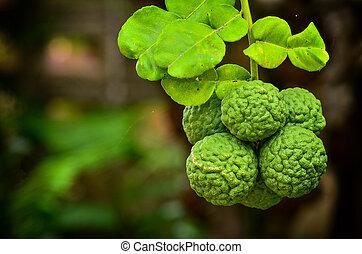 Bergamot on Tree - Close up group Bergamot on Tree
