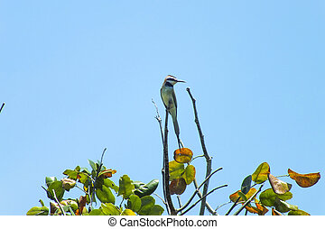 African Bee eater on a branch