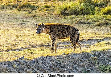 Hyena on the savanna