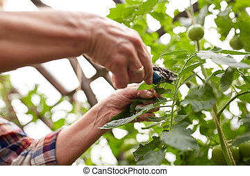 senior farmer with secateurs at farm greenhouse - farming,...