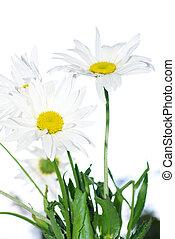 chamomile  - white chamomile isolated on white
