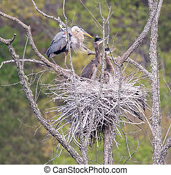 Great Blue Heron Nest with Young - Great Blue Heron (Ardea...