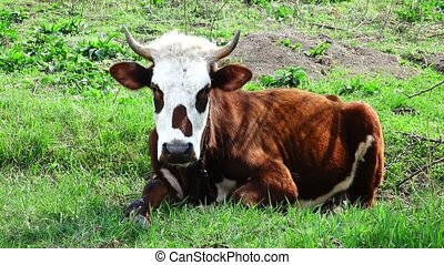 cow on a green grass