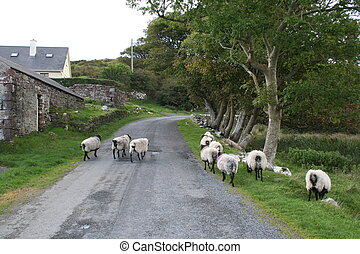 Rural lane and sheep in Ireland.
