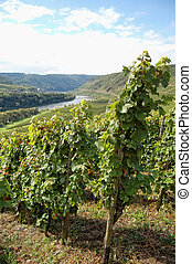 view over vineyards at Moselle river (Rhineland-Palatinate in Germany)
