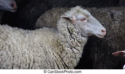 sheep portrait on a black background