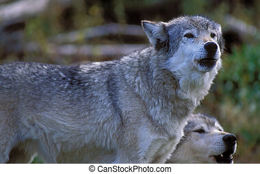 Grey Wolves - Grey or timber wolves howling Yellowstone...
