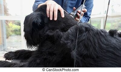 Grooming of the Giant Black Schnauzer dog side view - Side...
