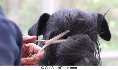 Closeup view of grooming hair around the eyes of the dog -...