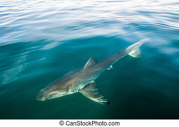 Great white shark (Carcharodon carcharias)under the waters surface, Gansbaai, South Africa