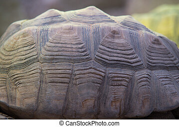 close up on Giant tortoise shell (Megalochelys gigantea).