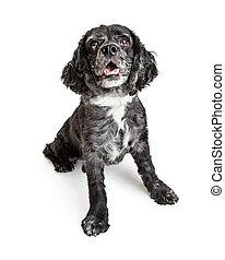 Happy Black Cocker Spaniel Dog on White