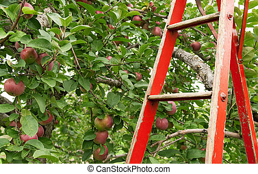 Red ladder in apple orchard