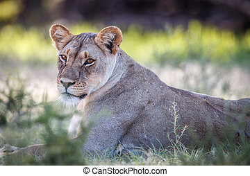 Starring Lioness in Kgalagadi. - Starring Lioness in the...