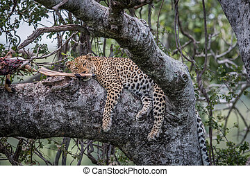 Leopard sleeping in a tree with kill.