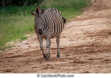 Pregnant Zebra walking towards the camera. - Pregnant Zebra...