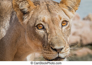 Lioness starring at the camera. - Lioness starring at the...