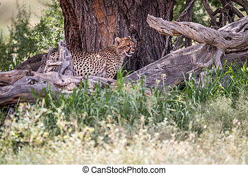 Starring Cheetah from under a tree. - Cheetah starring from...