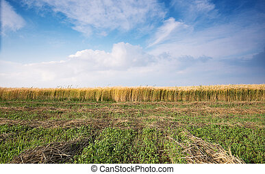 Countryside landscape with Cereal field after harvesting and...