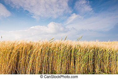 Golden wheat field and sky - Golden wheat field and cloudy...